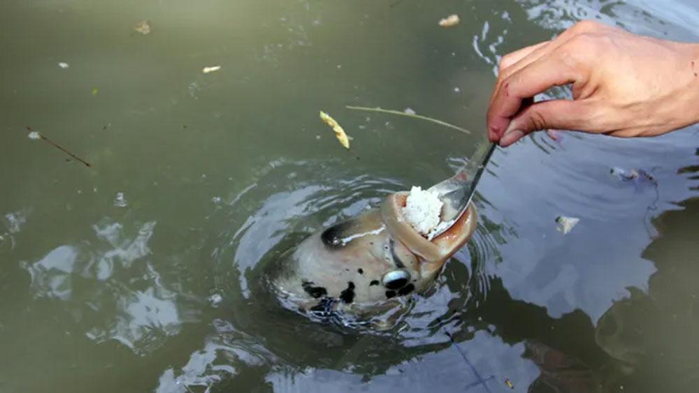 Đút từng thìa cơm cho cá ăn như đút cho em bé